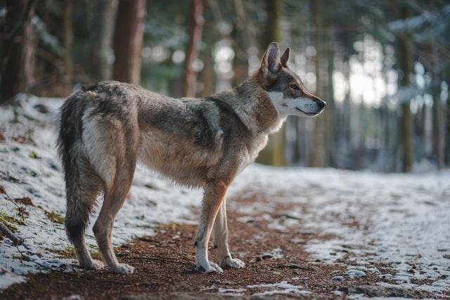 de Europese wolf_ik Wil Hiken